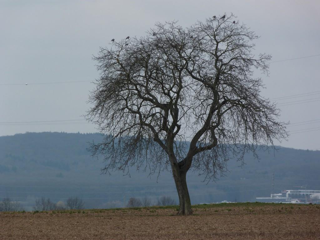Jeder hat einen Lieblingsbaum - dieser steht (noch) in der Gemarkung Unterliederbach westlich der Parkstadt