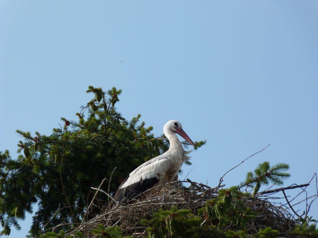 Storch in Groß-Rohrheim