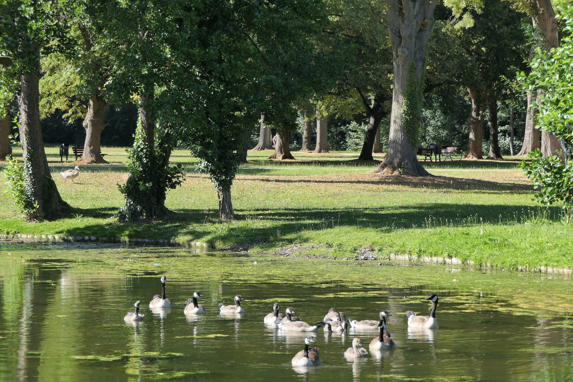 Kanadagänse - Familienausflug im Höchster Stadtpark