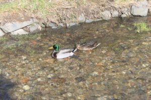 Entenpaar in Liederbach
